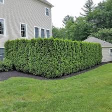 emerald green arborvitae for sale
