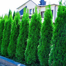Load image into Gallery viewer, emerald green arborvitae