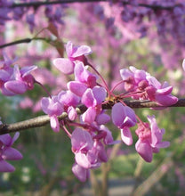 Load image into Gallery viewer, red bud flowers