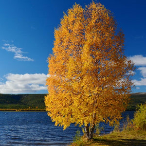 river birch tree fall colors