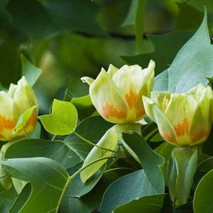 tulip tree for sale