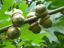 Load image into Gallery viewer, pin oak tree acorns