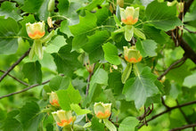 Load image into Gallery viewer, tulip poplar flowers