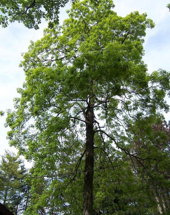 hickory tree for sale