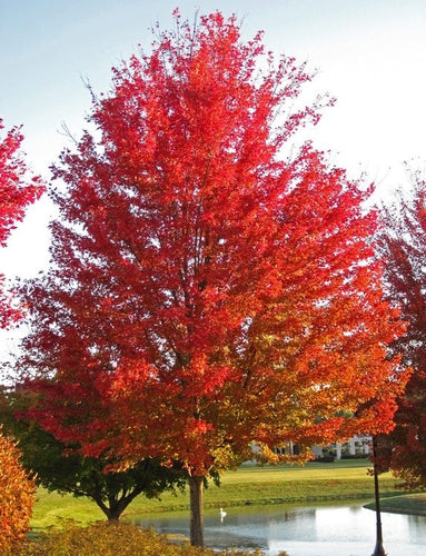 silver maple red tree for sale