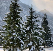 Load image into Gallery viewer, buy norway spruce tree