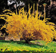 Load image into Gallery viewer, buy forsythia