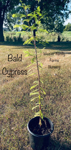 bald cypress for sale weaver family farms nursery