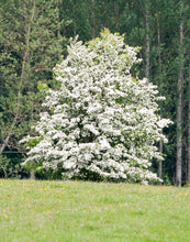 Load image into Gallery viewer, washington hawthorn tree for sale