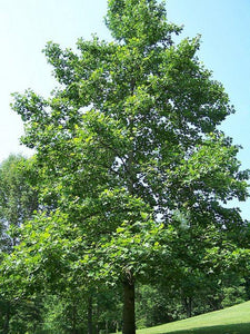 large tulip poplar tree