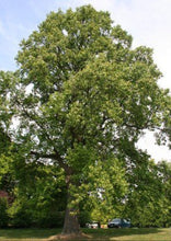 Load image into Gallery viewer, Tulip Poplar Tree
