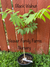 Load image into Gallery viewer, black walnut tree for sale weaver family farms nursery