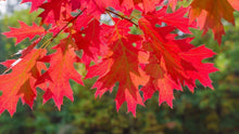 Load image into Gallery viewer, northern red oak leaves
