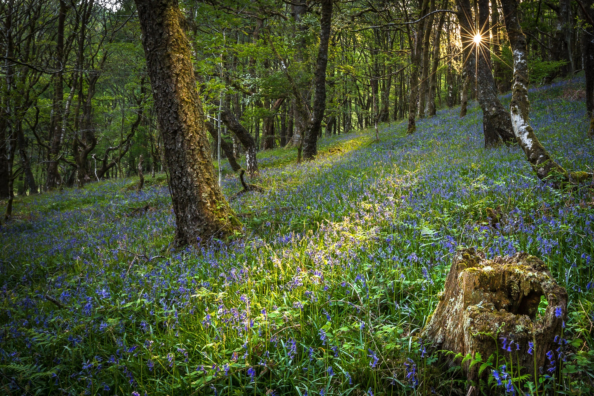 Bluebells at Dinas Woods