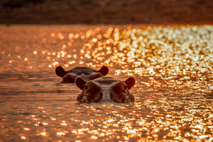 Two hippos bask in a golden sunset ...