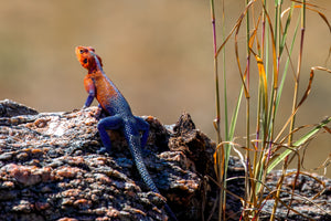 Agama lizards ...
