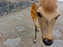 Load image into Gallery viewer, Deer, Nara, Japan - Worlds Abroad