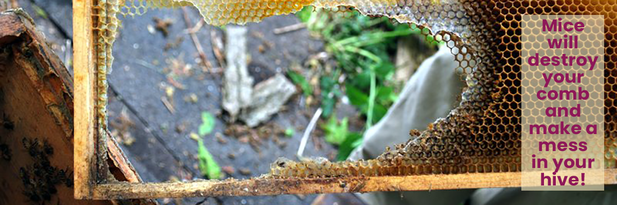 Frame from a beehive that has a large chunk of it taken out. A mouse has chewed the edges to get to the honey