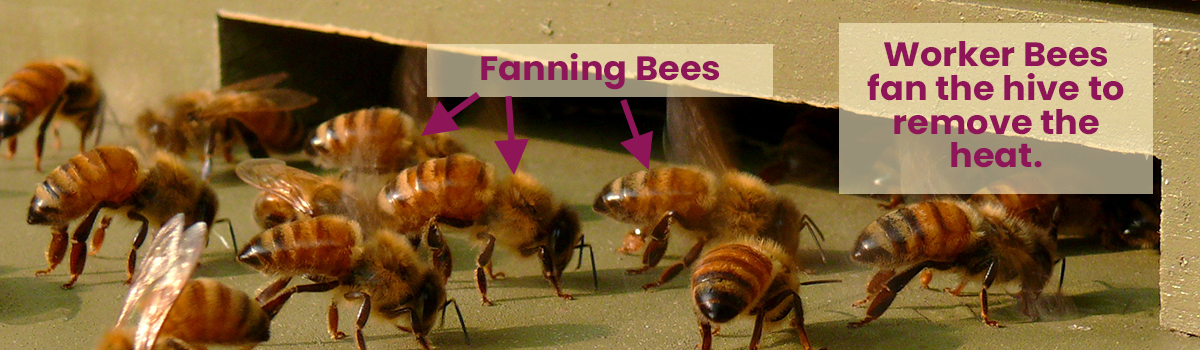 Worker Bee Fanning The Hive - Infographic