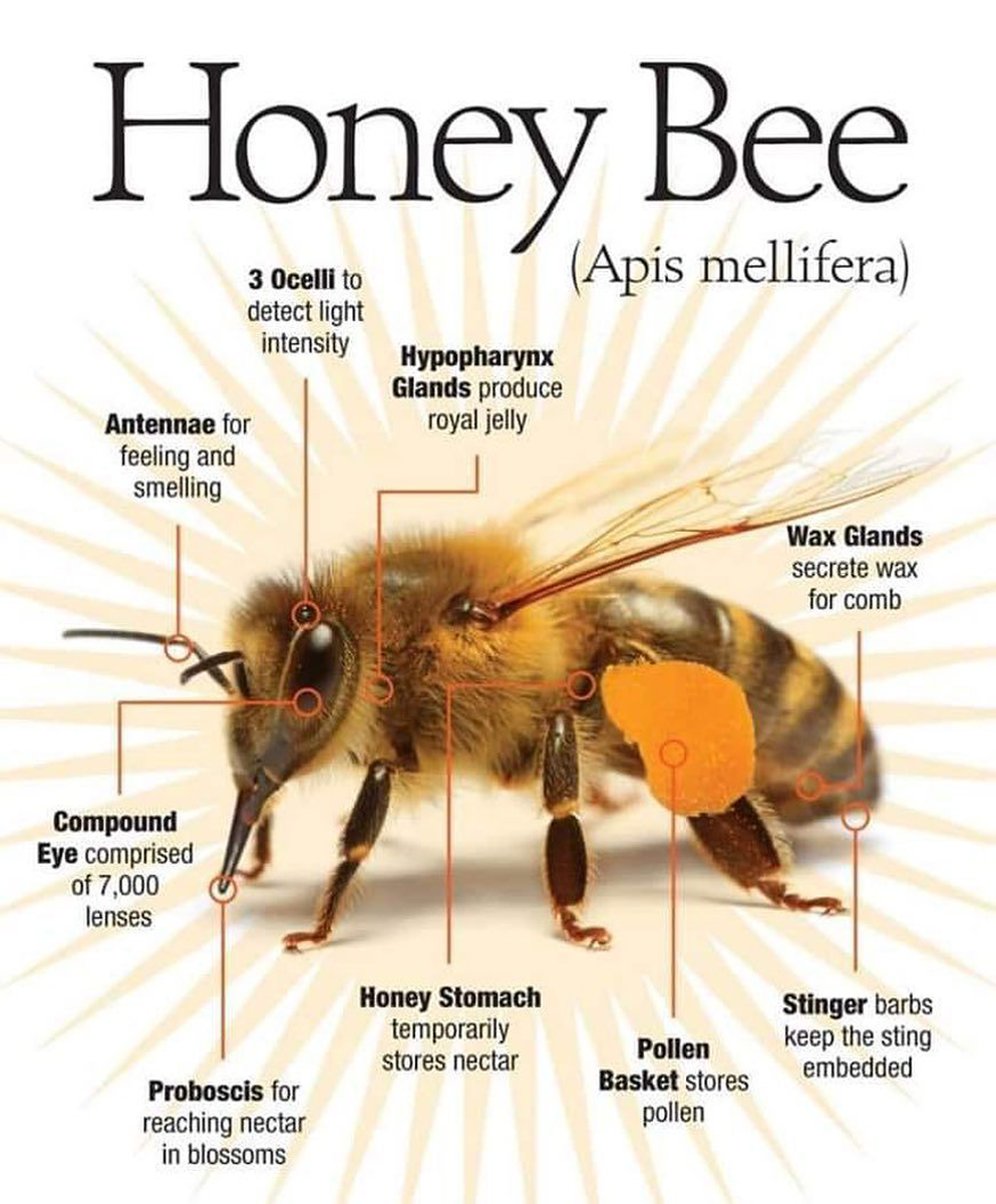 Diagram of All the Parts of the body of a Honey Bee Apis Mellifera