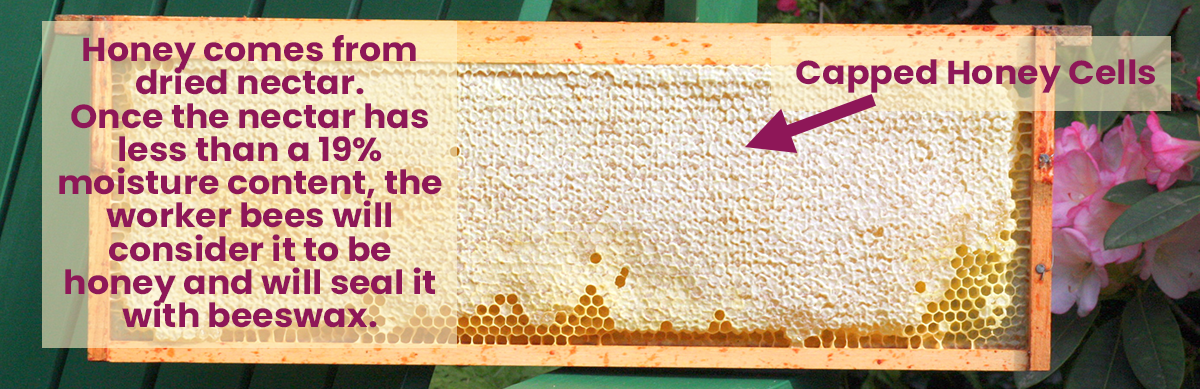 Capped Honey Cells in a Medium Frame - Infographic
