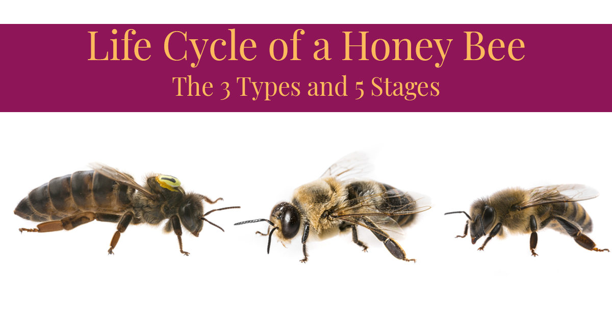 White Background Has The Three Types of Bees Queen (Left) Worker (Middle) Drone (Right) Purple Banner On Top Has Article Title