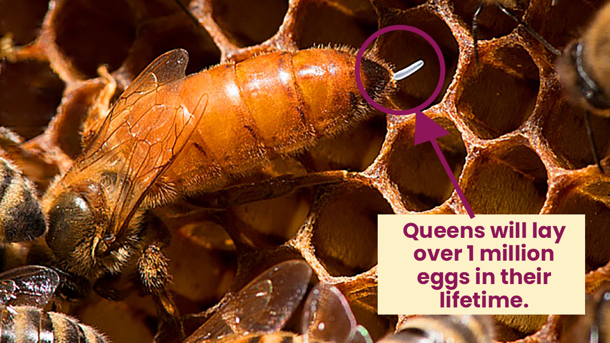 Queen At the Moment She Is Laying an Egg - Infographic