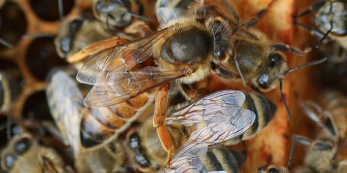 A close up view of a queen bee that is crawling over her worker bees on a frame of honeycomb