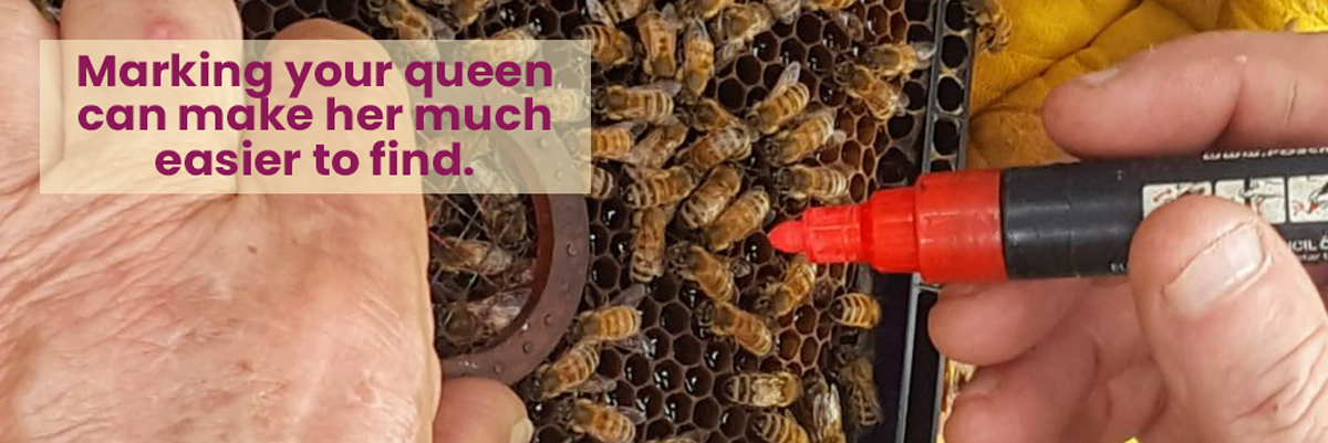 Beekeeper using a tool to hold the queen still while marking her with POSCA pens. Marking can make her easier to find.