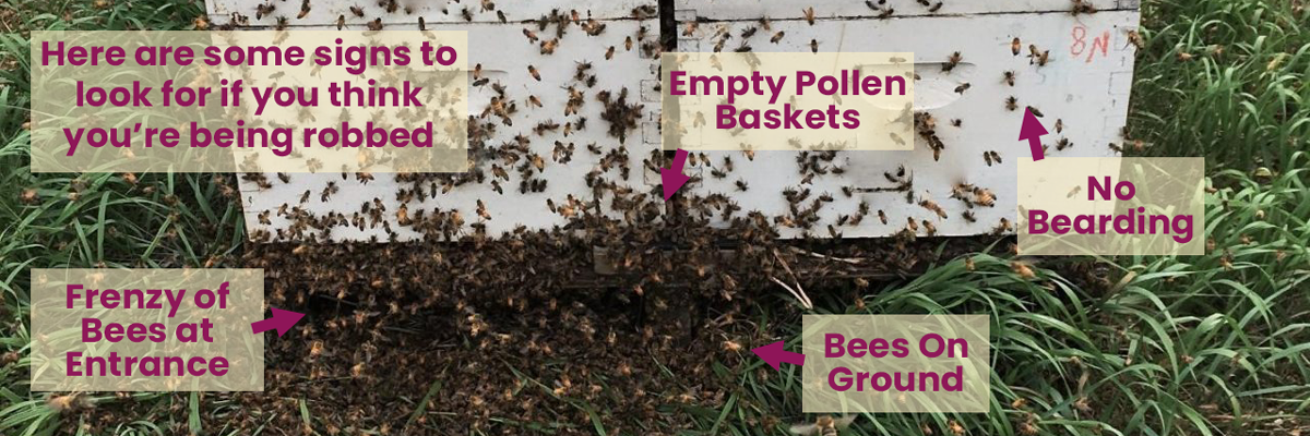 Beehive being robbed has numerous bees in the hive surrounding the front entrance. No bearding, empty pollen baskets, and bees on the ground.