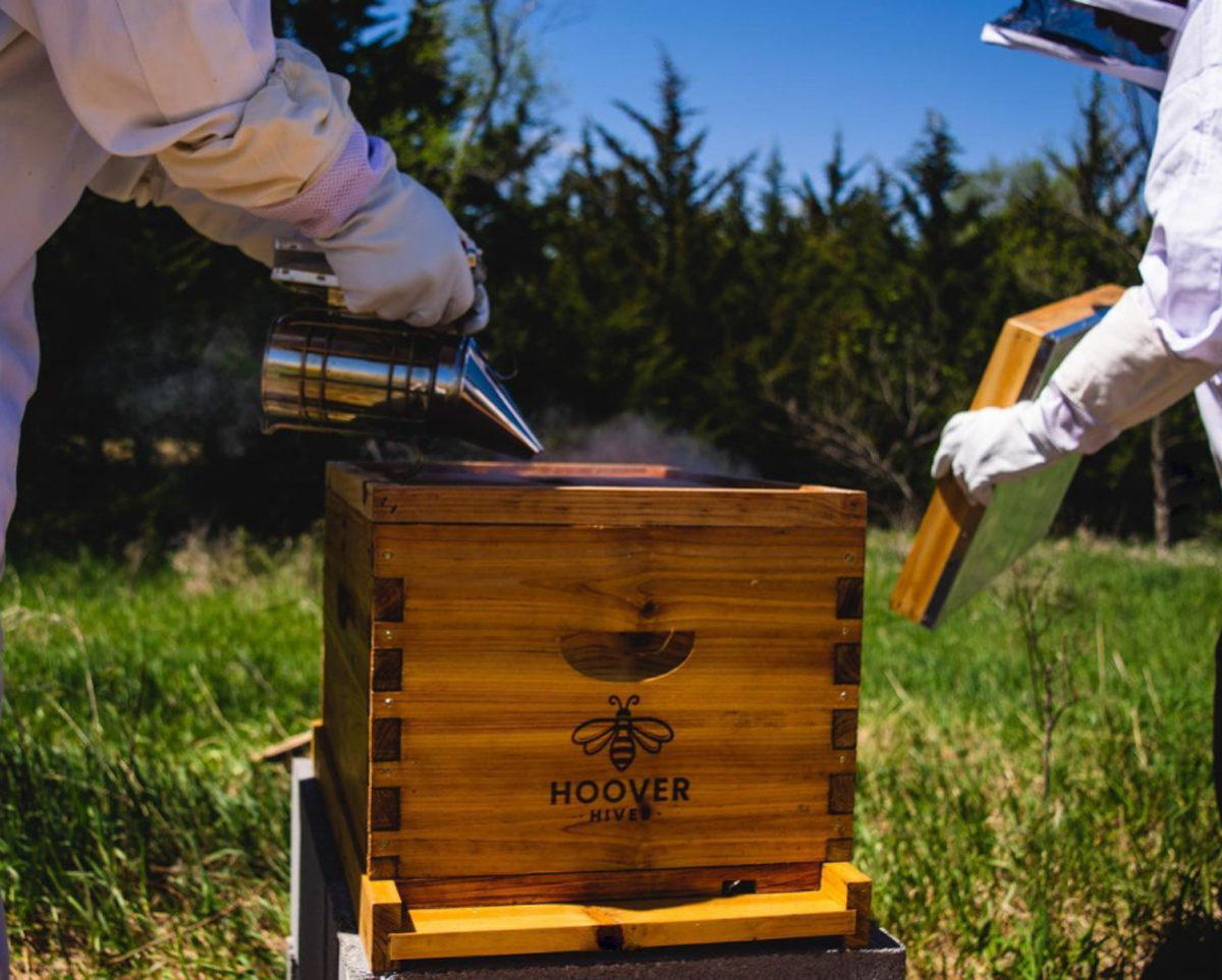 Beekeeper Taking Off The Telescoping Top Cover & Pointing The Nose Of The Smoker Into The Hoover Hive's Inner Cover's Cut Out
