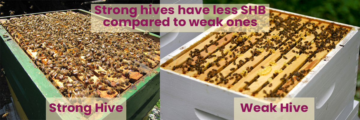 Two Beehives Are Compared Side By Side. One Is Overflowing With Bees. The Other Is Sparse.