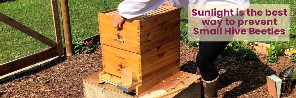 Beehive placed directly in the sunlight helps prevent small hive beetles. Beekeeper bending over a beehive in yoga pants.