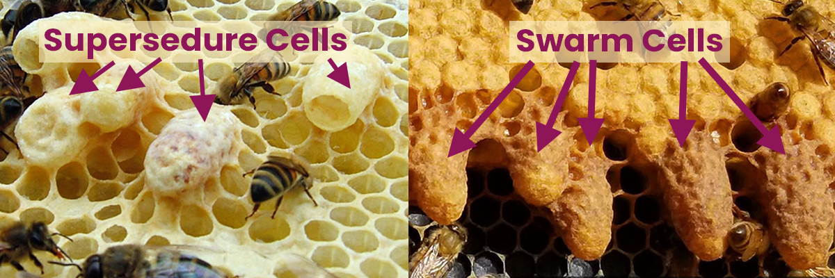 Two Pictures. One of supersedure cells that could mean an emergency. The other is a series of swarm cells which are normal.