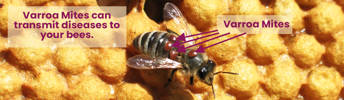 Varroa Mite Eating The Fat of Bees - Infographic
