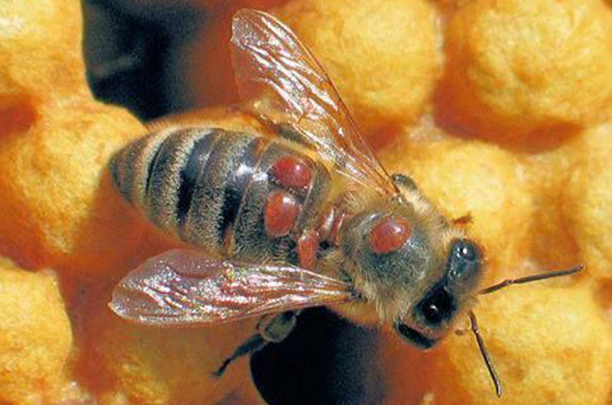 Worker bee walking aroung the cells of a frame. Has multiple Varroa Mites on her back that are eating her fat