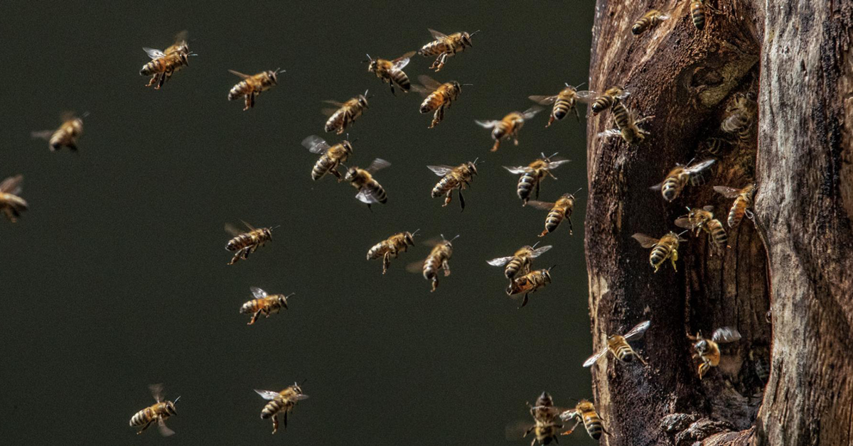 30 Or More Bees Flying In And Out Of The Entrance Of A Large Tree Hollow Cavity. A Bee's Favorite Place To Build a Beehive
