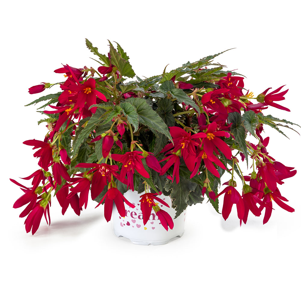 Beauvilia® Red Begonia