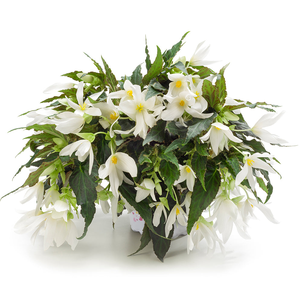 Beauvilia® White Begonia Hanging Baskets