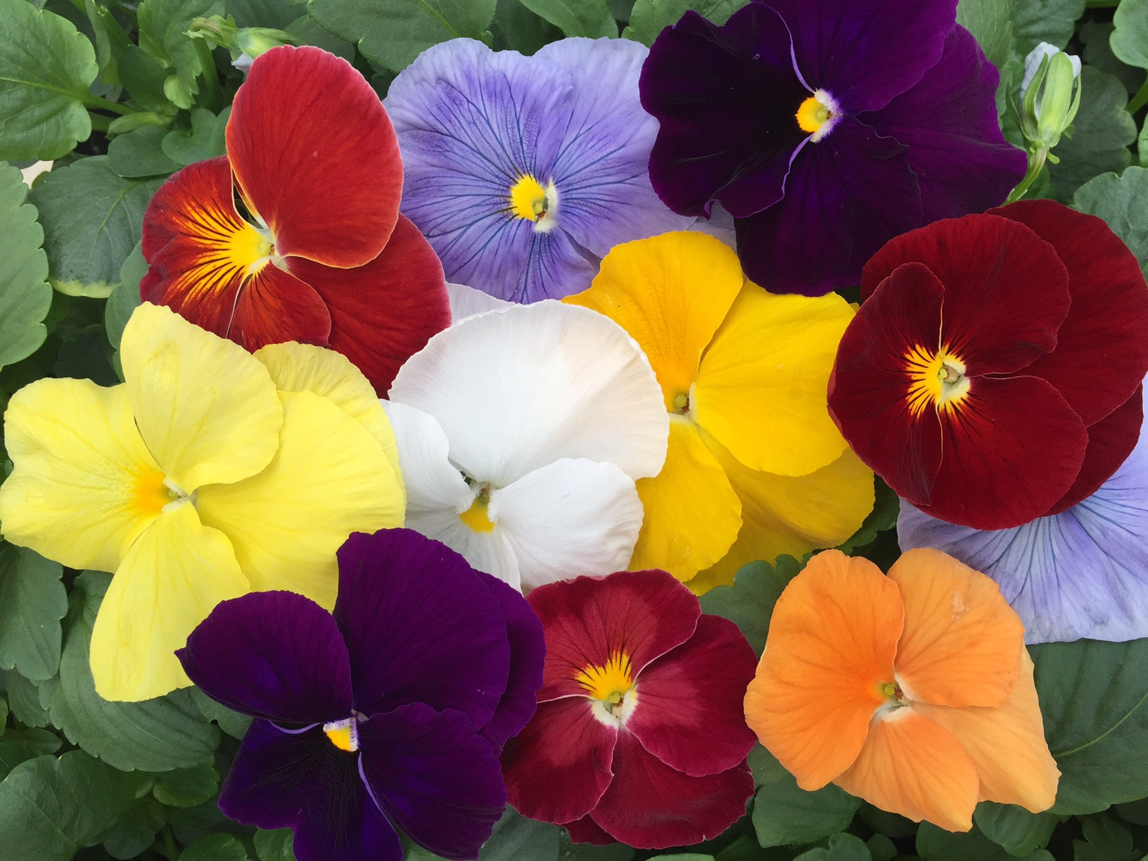 Delta Pure Colors Mix - Pansy