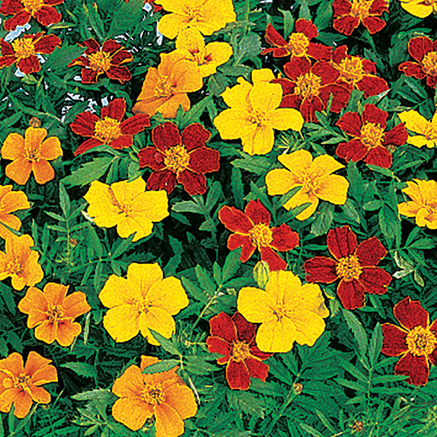 Disco® Marigolds Mix