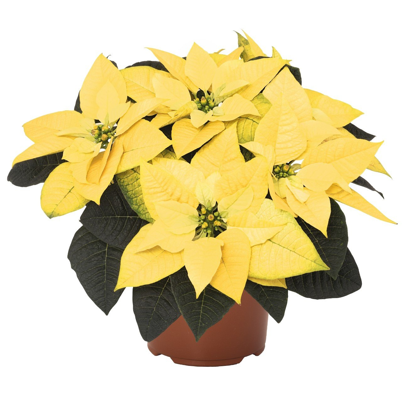 Golden Glow Poinsettia Christmas Holiday Flower