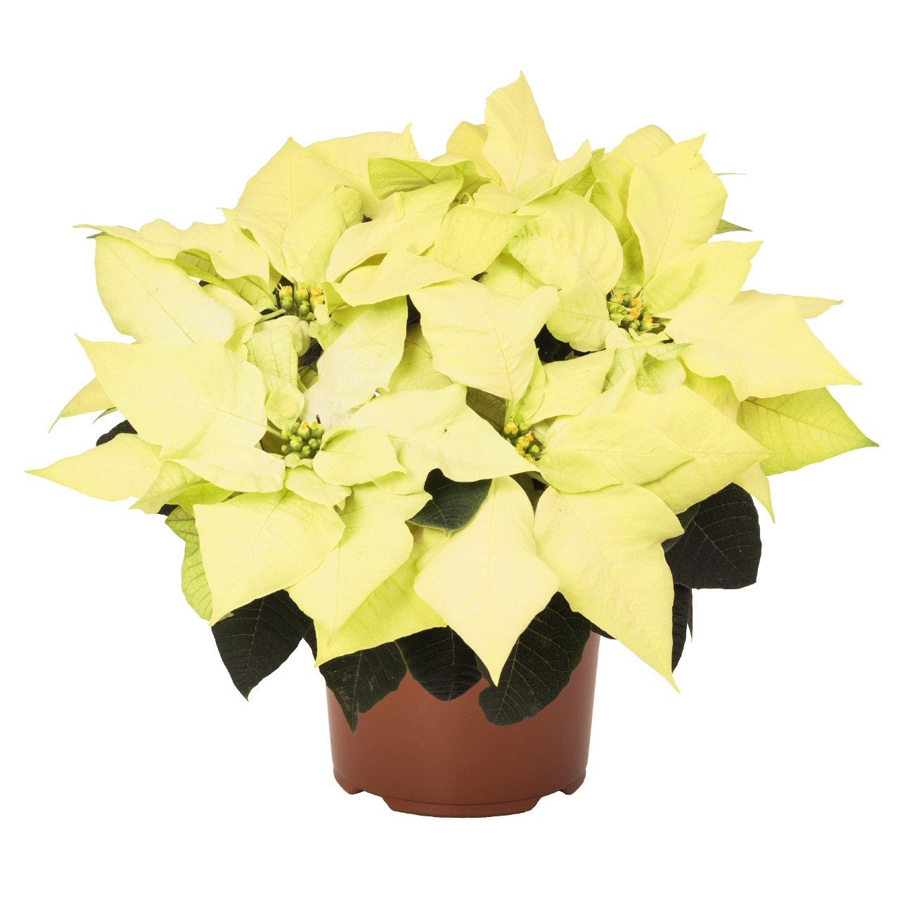 Green Envy Poinsettia Christmas Holiday Flower