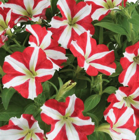 Amore™ King of Hearts Petunia Hanging Baskets