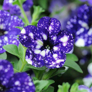 Headliner Night Sky Petunia Hanging Baskets
