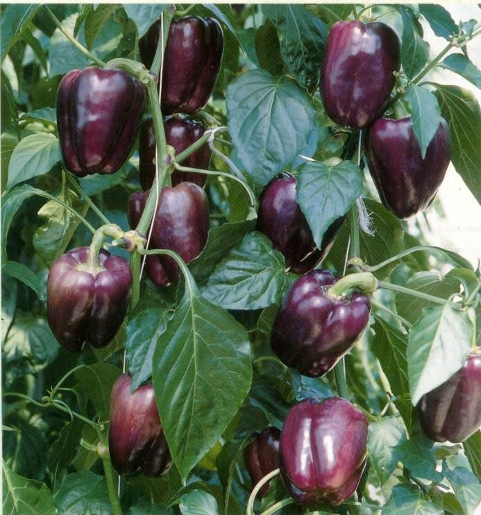 Purple Beauty Peppers