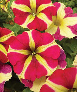 Amore™ Queen of Hearts Petunia Hanging Baskets