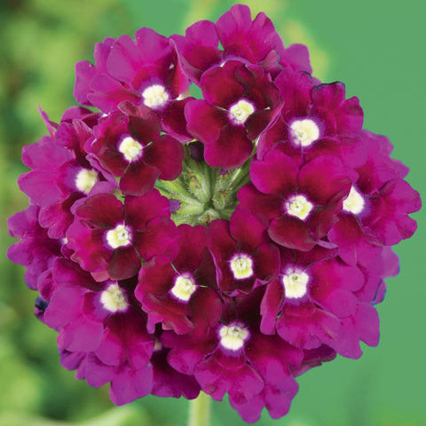 Lanai® Royal Purple with Eye Verbena