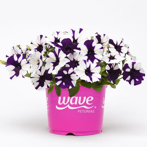 Shock Wave® Purple Tie Die Petunia