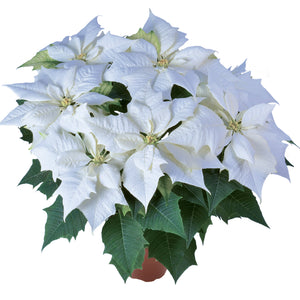 Alaska White Poinsettia Christmas Holiday Flower
